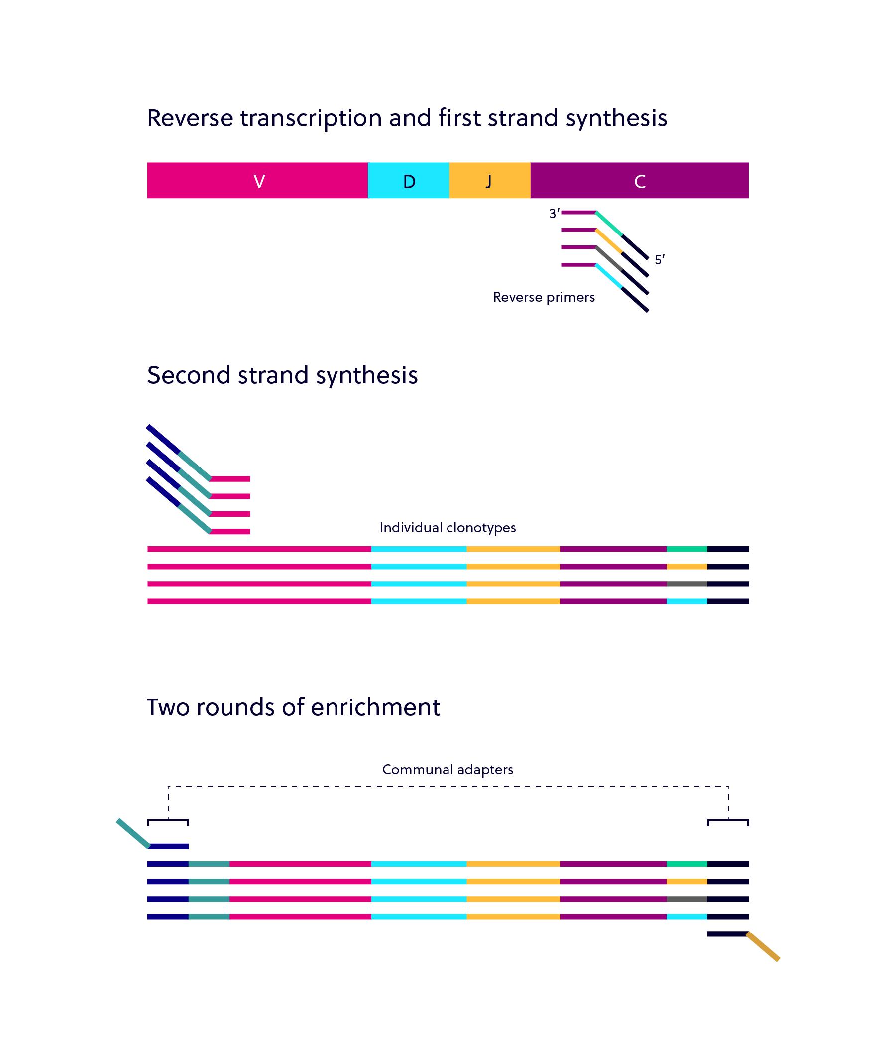 iRepertoire dam-PCR multiplex PCR amplification steps: Read descriptions for more.