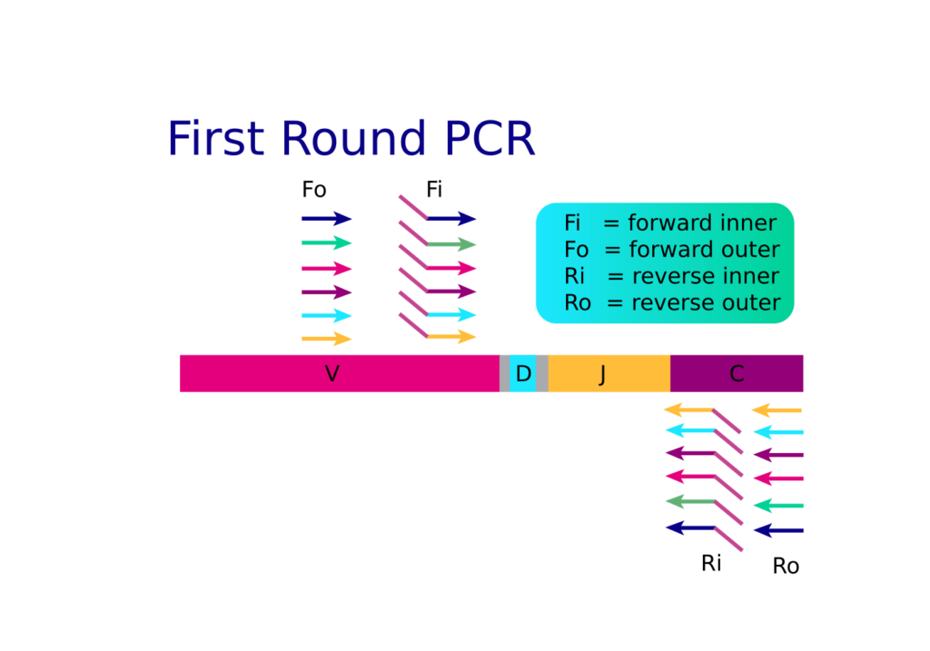 In the first round of arm-PCR, inside and outside TCR/BCR-specific primers amplify the targets of interest, increasing sensitivity and appending communal primer binding sites