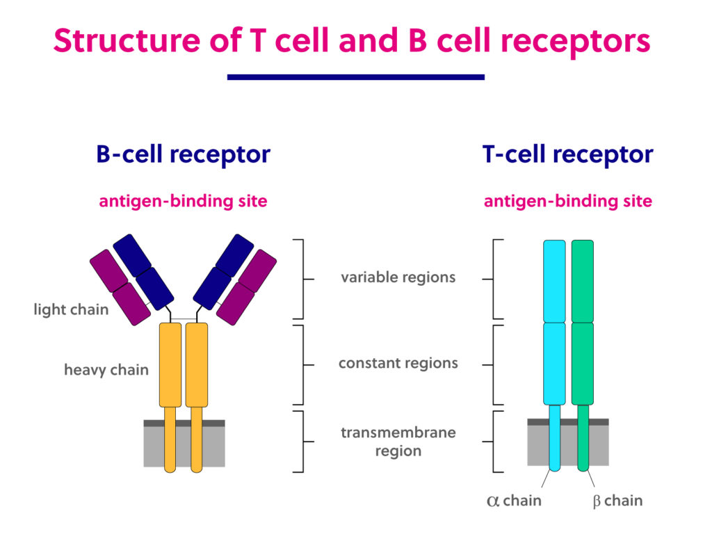 Structure of T cell and B cell receptors. T cell receptors are made up of two polypeptide chains that together compose one antigen binding region. B cell receptors are made up of four peptides – two light chains and two heavy chains – that comprise two antigen-binding regions.