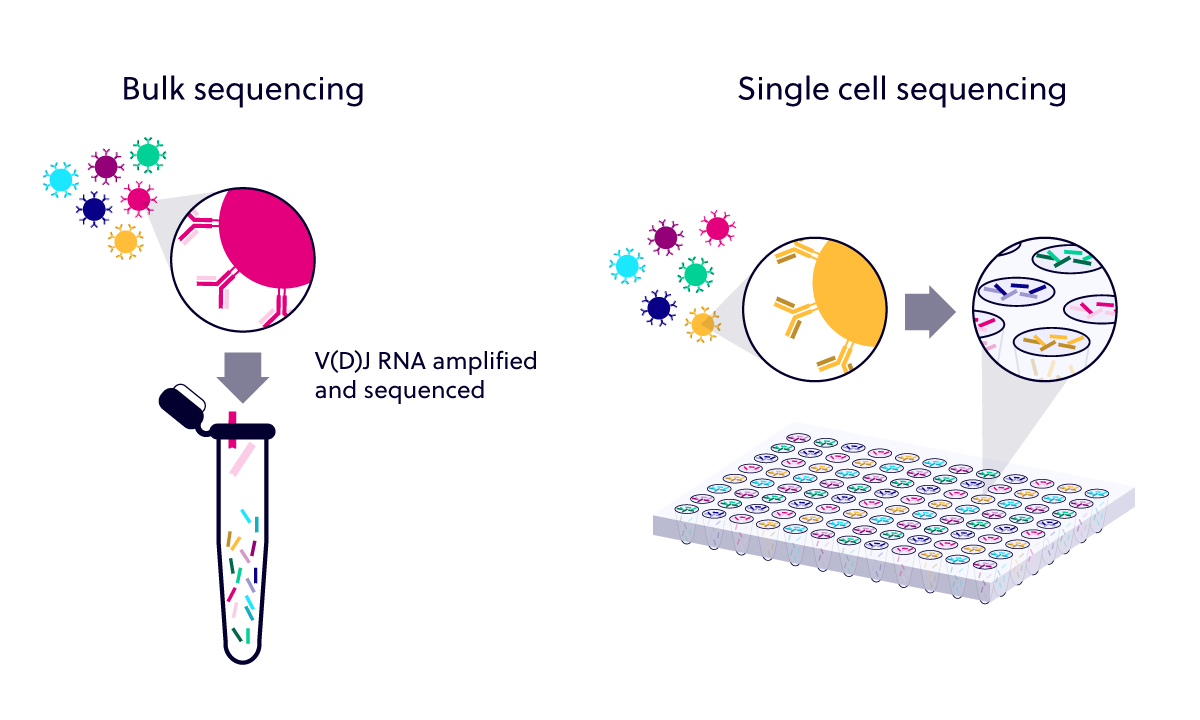 Bulk repertoire sequencing as compared to single sell sequencing. In bulk sequencing, V(D)J RNA is amplified and sequenced together from multiple B and T cells. Single cell sequencing preserves information about individual paired chains in each well during sequencing.